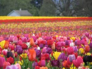 Tulip-Festival-2-photo